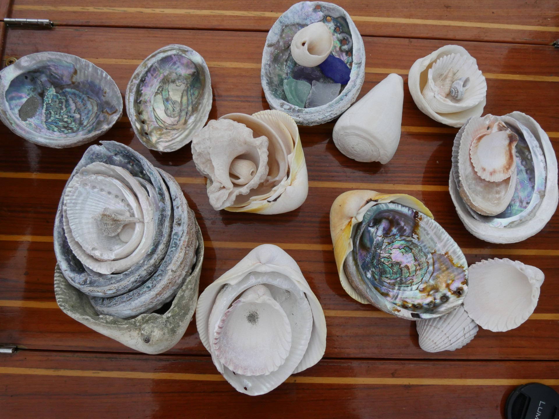 Abalone and others collected on the Pacific coast of Baja.