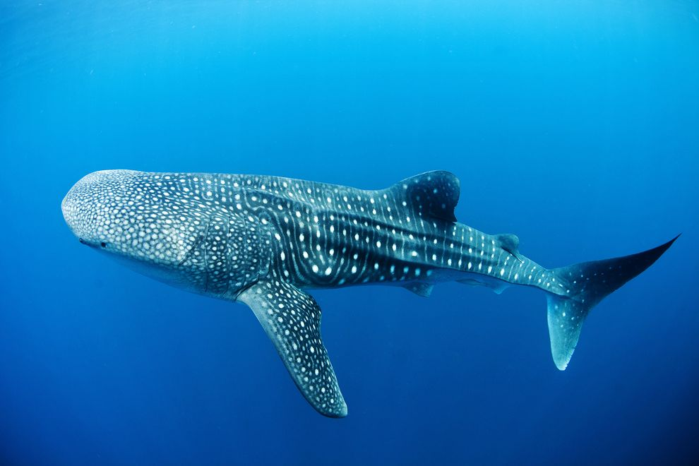 A big fish--the biggest! The gentle whaleshark. Photo from whalesharklive.com