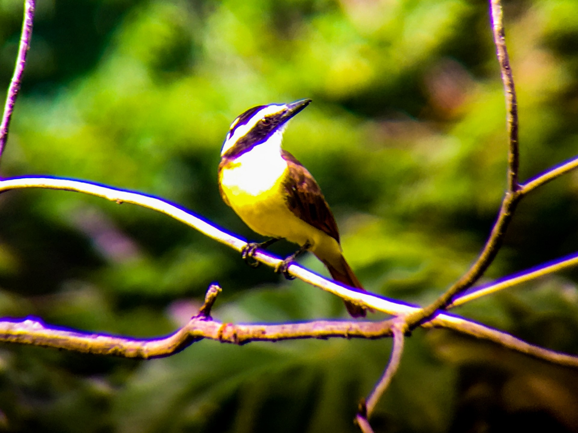 The Great Kiskadee, a large and loquacious flycatcher ubiquitous on the coasts from Mexico to Panama.