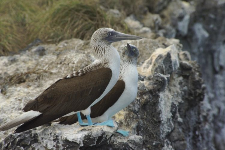 Blue-footed Boobies at the edge of the sea.